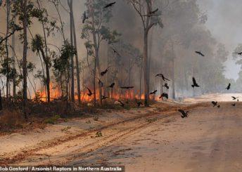 E pabesueshme, ky është zogu që shpërndan zjarret në Australi (Foto)